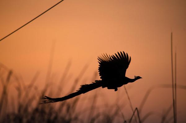 孔雀が飛ぶ姿が神々しすぎる…!空飛ぶクジャクの画像 (7)