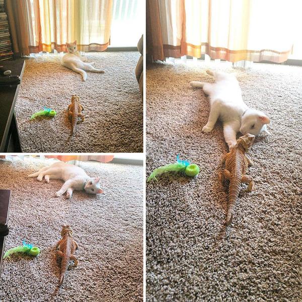 超仲良しなんだぜ!2匹は友達。ネコとフトアゴヒゲトカゲ (2)