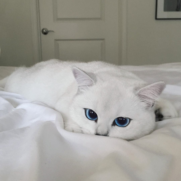 美しい…。綺麗な青い瞳をした白猫が話題!【猫画像】 (8)