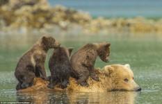 熊の親子!泳いで川渡りをしている姿がカワイイ