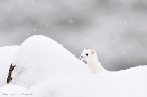 純白が美しすぎるオコジョの画像 13