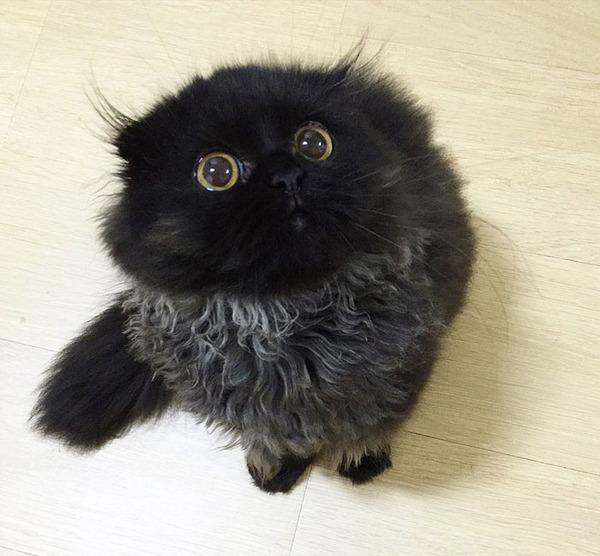 「まっくろくろすけ」みたいな黒猫画像!黒いモフモフ (9)