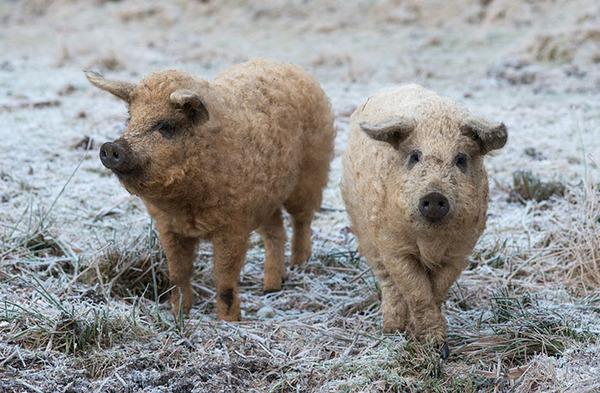 羊みたいな体毛を持った豚『マンガリッツァ』。モフモフ! (24)