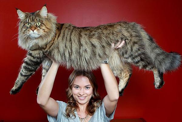 とても大きい猫の画像 8
