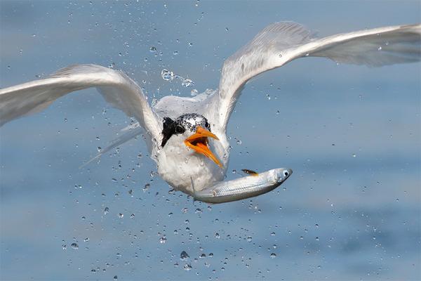 もう逃げられない…!鳥が魚をパックリ食べちゃう瞬間的画像 (5)