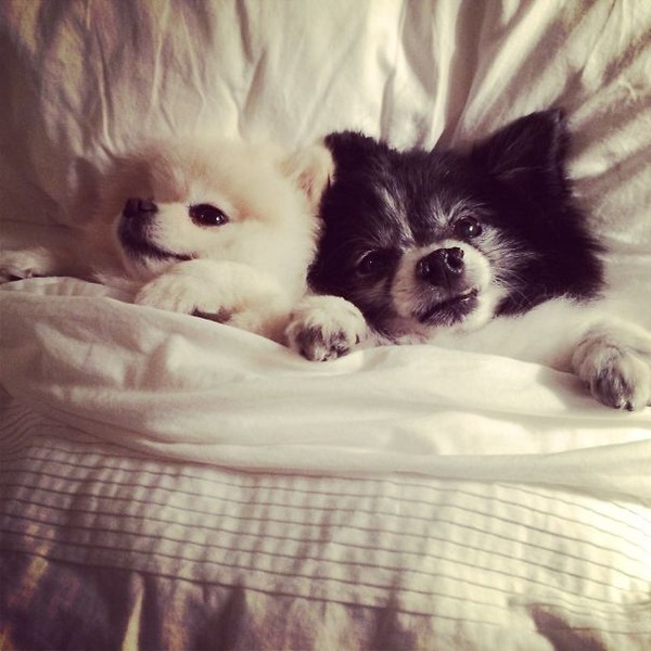 ベッドで寝る犬 かわいいおもしろ画像 33