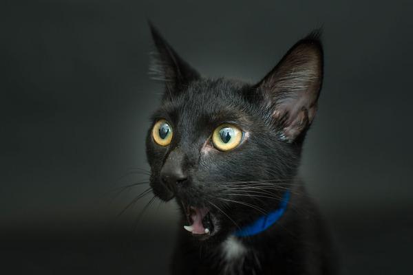 アメリカのアニマルシェルターで里親を待つ黒猫たちの写真 (3)
