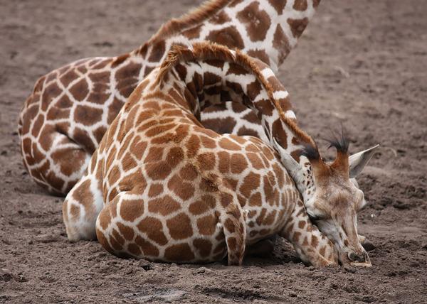 キリンの寝方、キリンの睡眠モード姿勢 9
