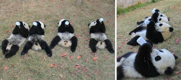 かわいいジャイアントパンダの画像 2