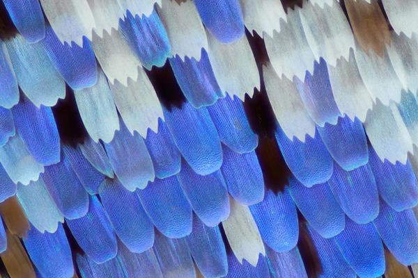 カラフルで美しすぎる!蝶の羽を拡大したマクロ写真 (7)