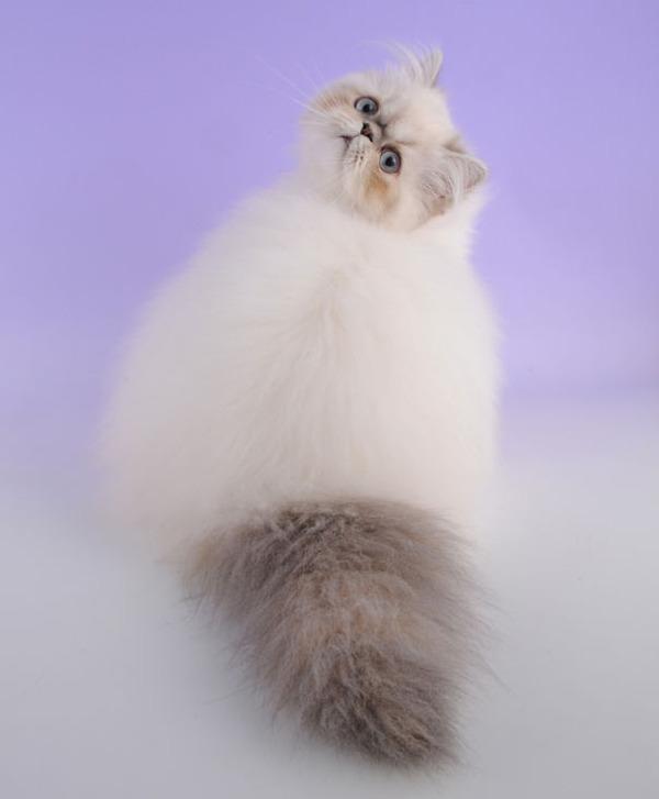 綿菓子フワフワ!モフモフしたくなる長毛種の猫画像 (6)