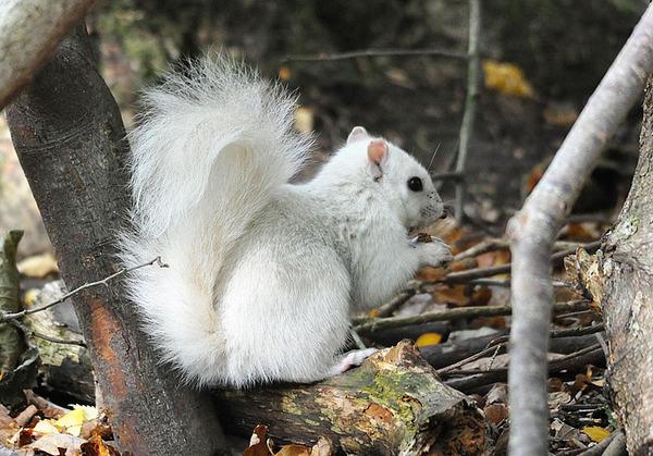 イギリスで真っ白いリスが激写される!アルビノではない白いリス (2)