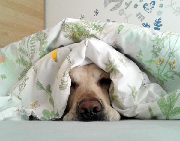 ベッドで寝る犬 かわいいおもしろ画像 34