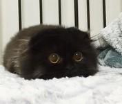「まっくろくろすけ」みたいな黒猫画像!黒いモフモフ