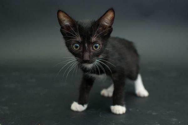 アメリカのアニマルシェルターで里親を待つ黒猫たちの写真 (8)
