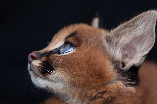 カラカルの画像!麻呂眉と耳の房毛が特徴的なネコ科動物 (18)