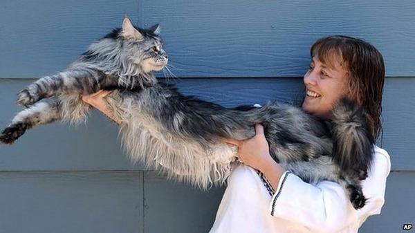 でかすぎる!大型のイエネコ長毛種メインクーン画像【猫】 (14)
