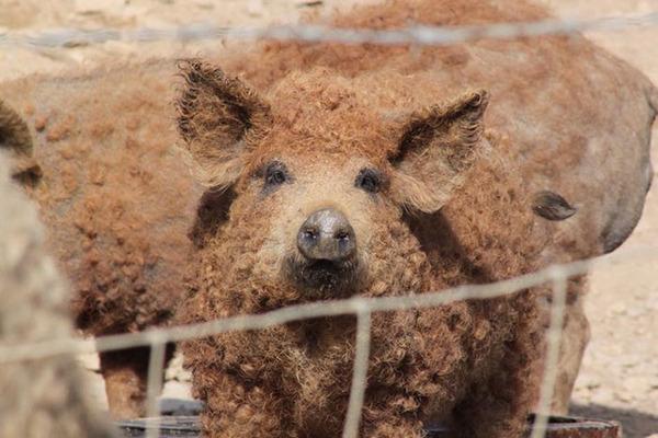 羊みたいな体毛を持った豚『マンガリッツァ』。モフモフ! (25)