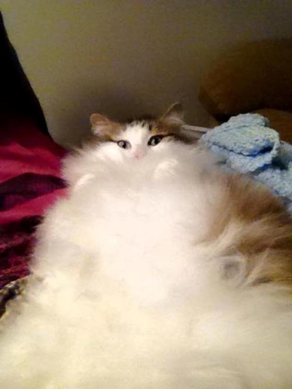 綿菓子フワフワ!モフモフしたくなる長毛種の猫画像 (1)