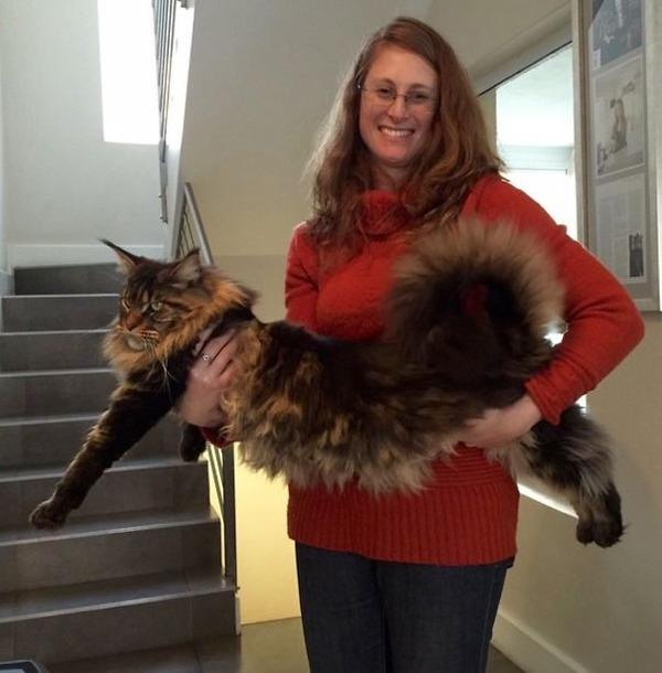 でかすぎる!大型のイエネコ長毛種メインクーン画像【猫】 (2)