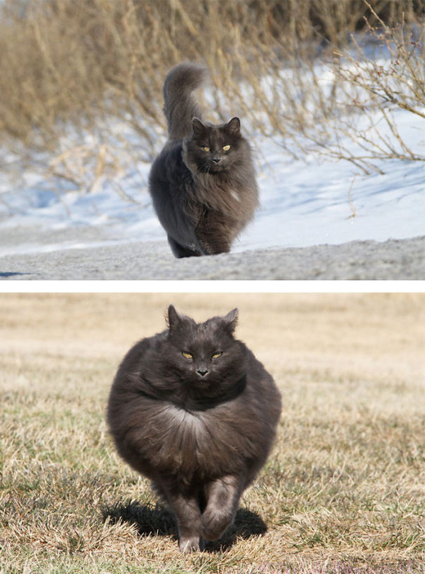 綿菓子フワフワ!モフモフしたくなる長毛種の猫画像 (37)