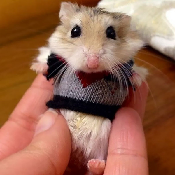 寒いからニットのセーターを小動物に着せてみた画像 (12)