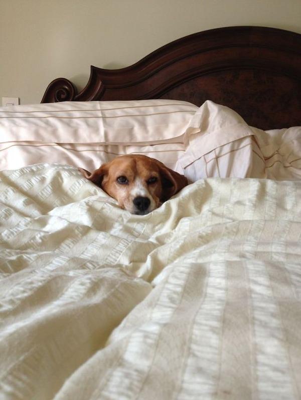ベッドで寝る犬 かわいいおもしろ画像 14