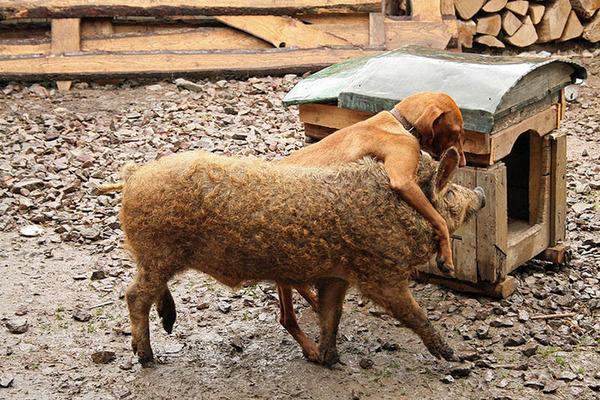 羊みたいな体毛を持った豚『マンガリッツァ』。モフモフ! (7)
