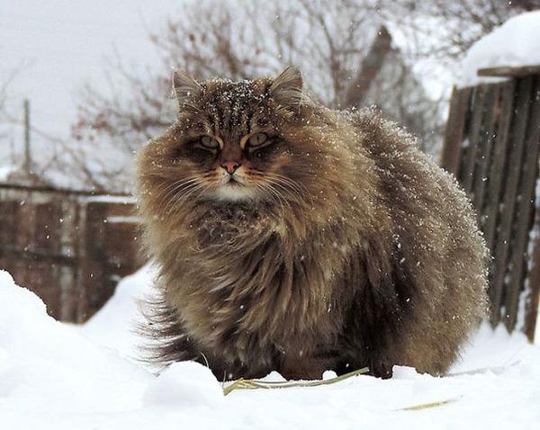 綿菓子フワフワ!モフモフしたくなる長毛種の猫画像 (26)