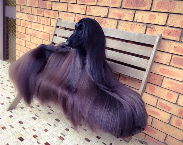 サラサラすぎぃ!美しすぎる毛を持つアフガンハウンド (1)