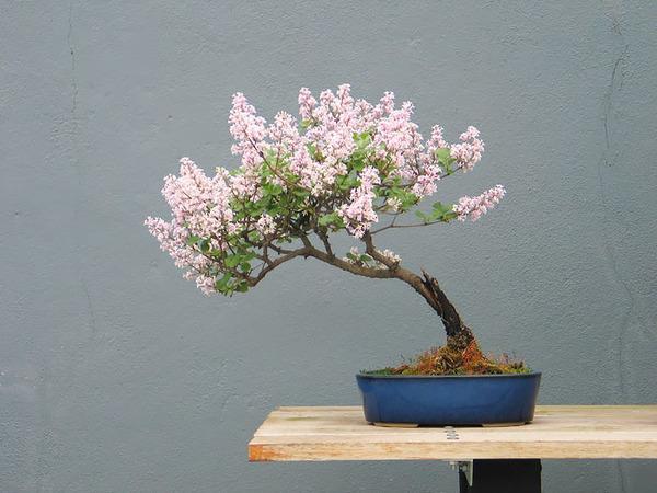 紫丁香花、ライラック