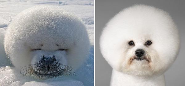 アザラシって犬そっくりじゃね?犬とアザラシを比較画像! (7)