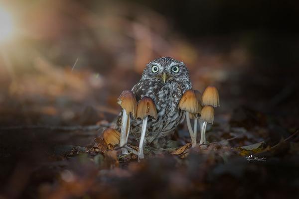 ファンタジック!森のキノコで雨宿りするフクロウの画像ほか (10)