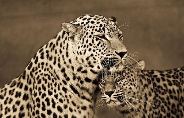 大型ネコ科!ライオン、ヒョウ、トラの美しいセピア写真 (3)