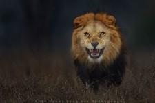 「あっ、殺られる…」 怒った百獣の王ライオンが威嚇して襲って来た