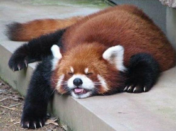 だれてるレッサーパンダ