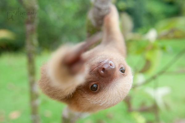 癒し系動物ナマケモノの赤ちゃんが超かわいい画像 (12)