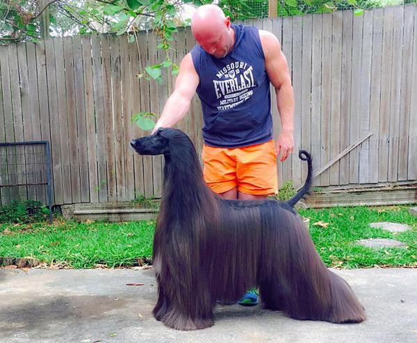サラサラすぎぃ!美しすぎる毛を持つアフガンハウンド (3)