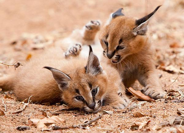 カラカルの画像!麻呂眉と耳の房毛が特徴的なネコ科動物 (33)