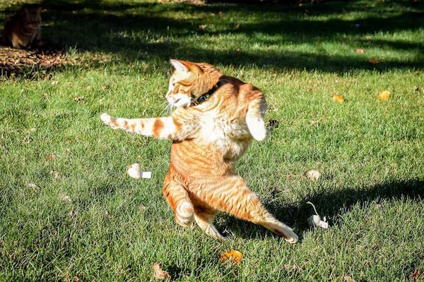 躍動感ありすぎる猫の写真が撮れたので海外でコラ画像バトル (7)