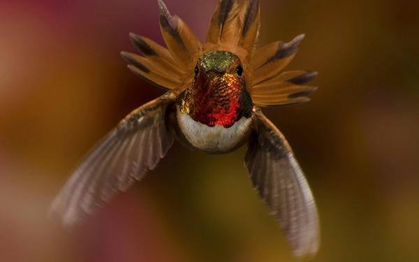 ハチドリ、可愛い、美しい小鳥の写真 (16)