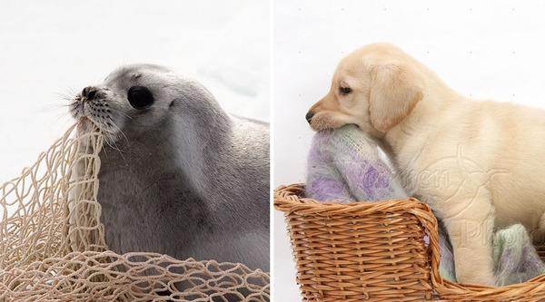 アザラシって犬そっくりじゃね?犬とアザラシを比較画像! (26)