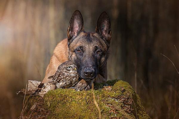犬とフクロウの仲良し画像 (5)