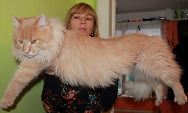 でかすぎる!大型のイエネコ長毛種メインクーン画像【猫】 (43)