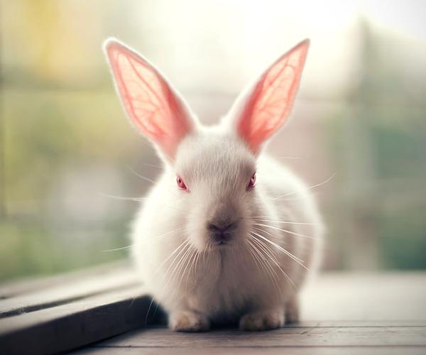不機嫌なウサギ