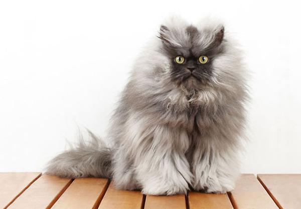 綿菓子フワフワ!モフモフしたくなる長毛種の猫画像 (30)