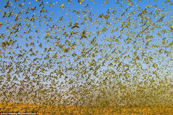 8万羽のセキセイインコの群れをオーストラリアの内陸で観測! (1)