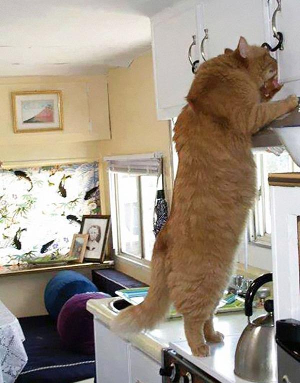 とても大きい猫の画像 15