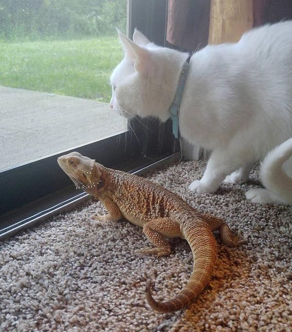 超仲良しなんだぜ!2匹は友達。ネコとフトアゴヒゲトカゲ (7)