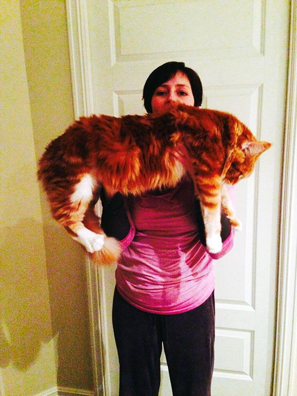 でかすぎる!大型のイエネコ長毛種メインクーン画像【猫】 (12)
